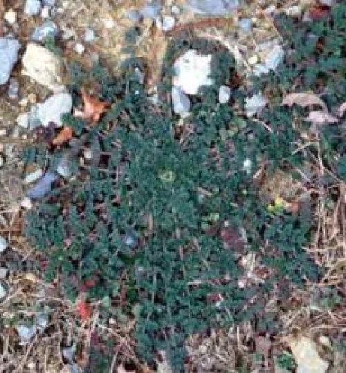 Erodium cicutarium (Repimpim)