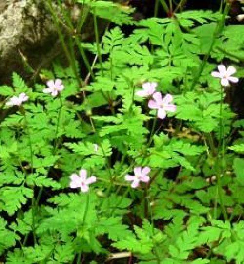 Geranium pusillum (Bico-de-cegonha)