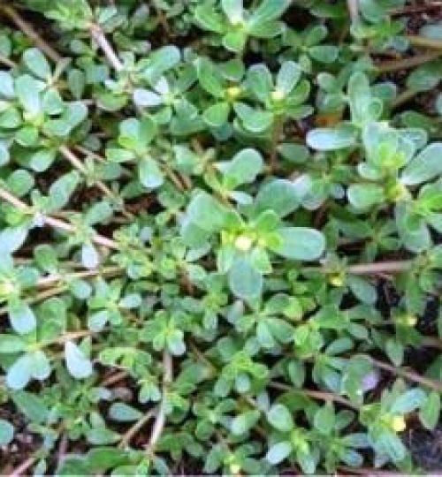 Portulaca oleracea (Beldroega)